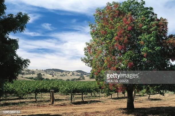 Vineyard at Tanunda, Barossa Valley, South Australia, Australia.