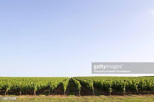 vineyard, bordeaux, france - ボルドー ストックフォトと画像