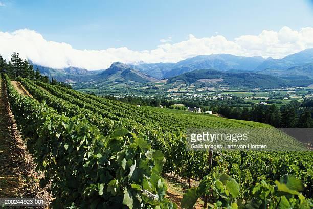 Vineyard by mountain