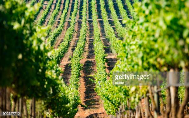 vineyard close to coast in chile - chile stock pictures, royalty-free photos & images