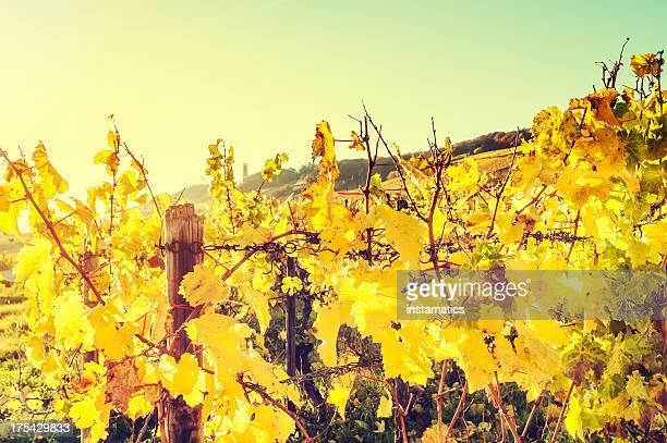 Vineyard during a sunny autumn evening