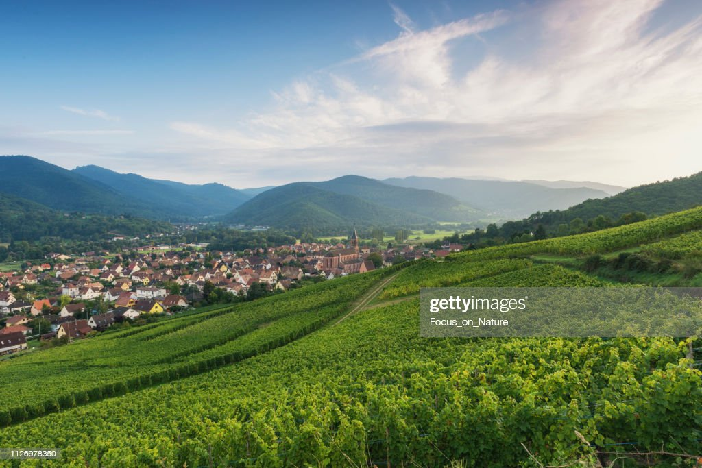 Vineyard during sunset (alsage) : Stock Photo