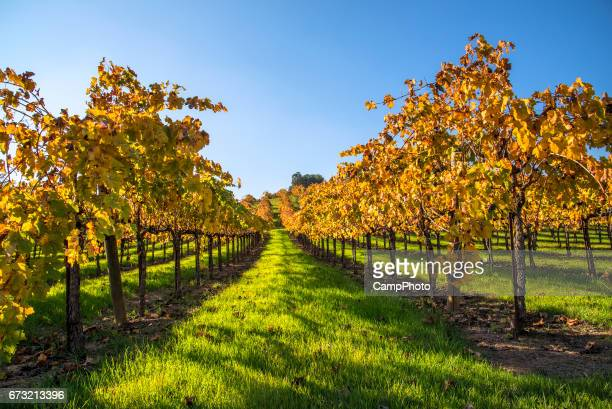 Vineyard fall and clear sky