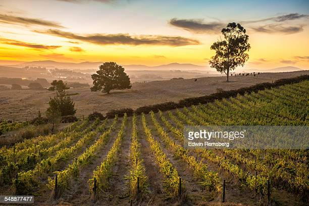 Vineyard Fields at Dusk