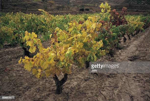 Vineyard General view of a vineyard for the area of the town of San Asensio La Rioja province