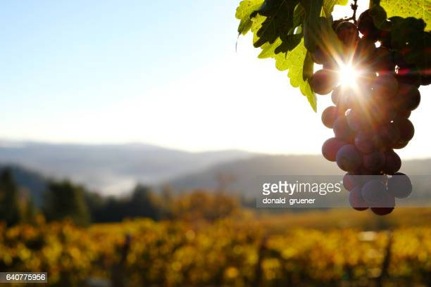 vineyard grapes at dawn - grape stock pictures, royalty-free photos & images
