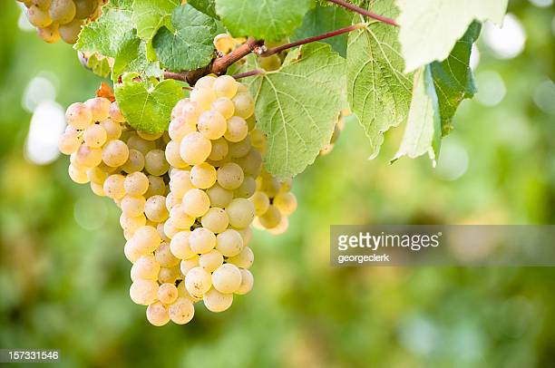 vineyard grapes - grape stock pictures, royalty-free photos & images