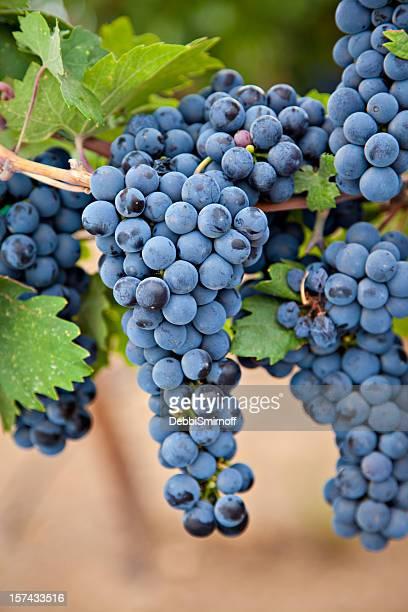 vineyard grapes - cabernet sauvignon grape stock photos and pictures