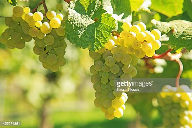 Vineyard, Grapes