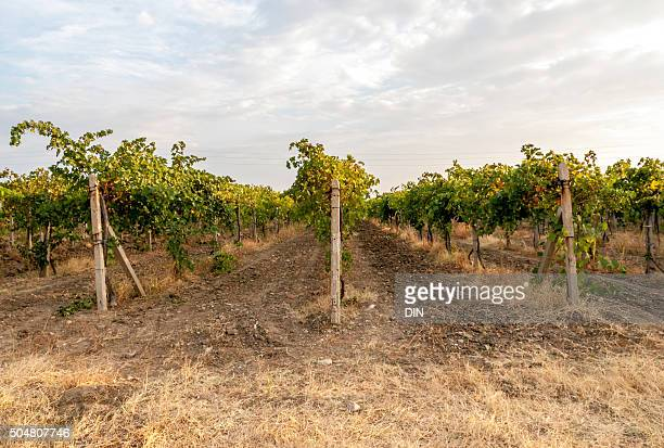 Vineyard, harvest grapes