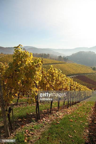 vineyard in autumn light and fog