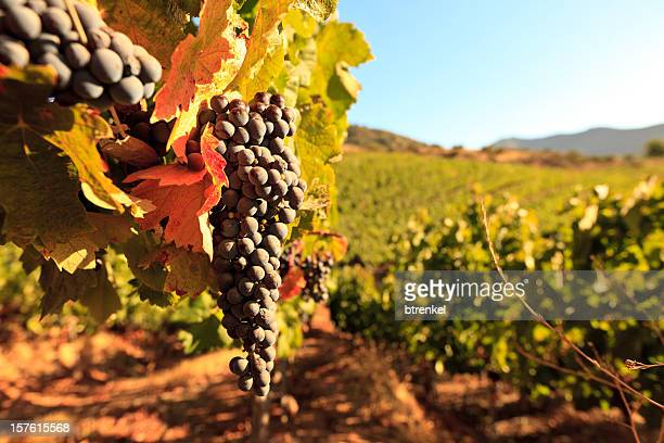 vineyard in autumn - santiago chile stock pictures, royalty-free photos & images