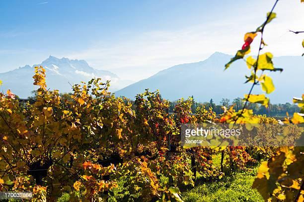 Vineyard im Herbst unter Alpen