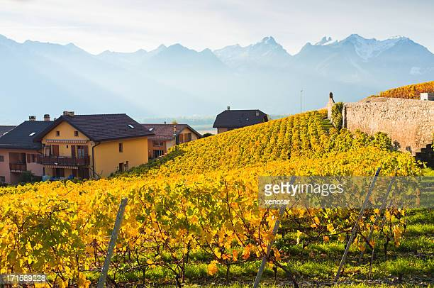 vineyard in autumn under alps - schwyz stock pictures, royalty-free photos & images