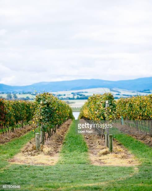 Vineyard in autumn, Yarra Valley, Victoria, Australia