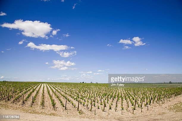 vineyard in bordeaux, france - margaux photos et images de collection