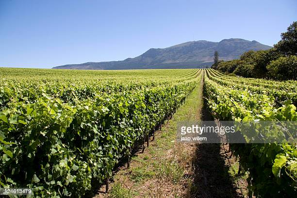 vineyard in capetown