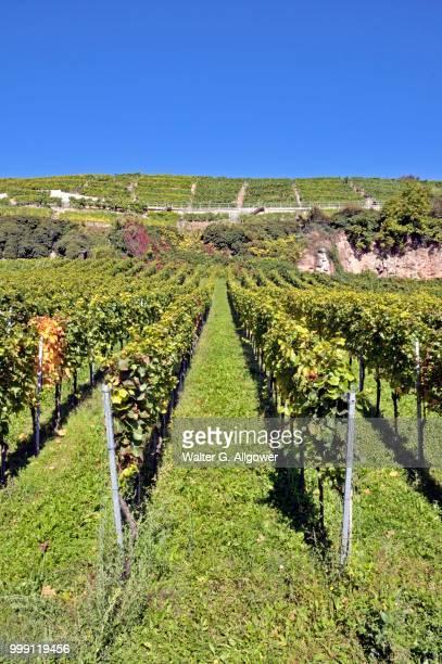 Vineyard in Esslingen am Neckar, Baden-Wuerttemberg, Germany