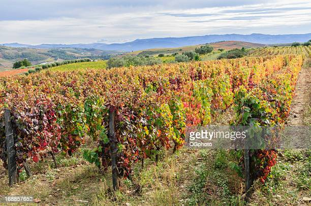 vineyard in its autumn colors - douro valley stock photos and pictures