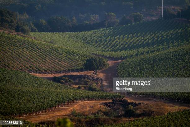 A vineyard in Kenwood California US on Monday Sept 21 2020 Smoke from the LNU Lightning Complex wildfires may have damaged grapes from vineyards in...