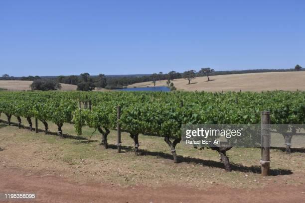 vineyard in margaret river wine region in western australia - rafael ben ari - fotografias e filmes do acervo