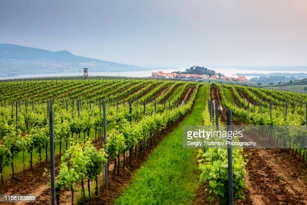 vineyard in moravia, czech republic - czech republic stock pictures, royalty-free photos & images