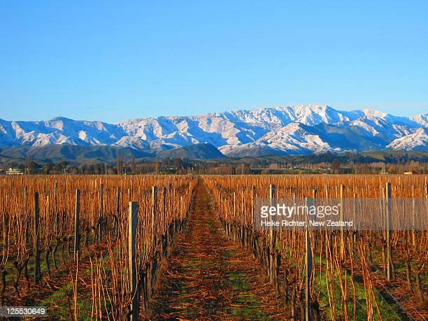 vineyard in morning light, marlborough - marlborough new zealand stock pictures, royalty-free photos & images