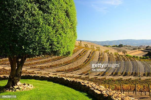 vineyard in santa ynez valley, central california, - los olivos california stock pictures, royalty-free photos & images