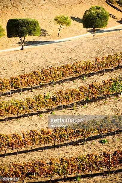 Vineyard in Santa Ynez Valley, central california,