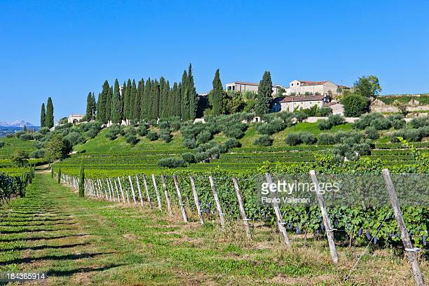 vineyard in september, valpolicella - veneto stock pictures, royalty-free photos & images