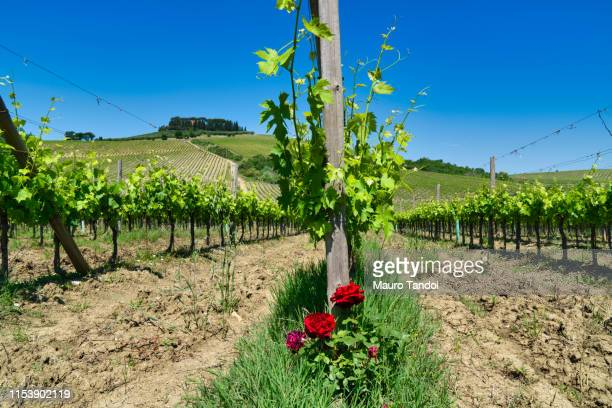 vineyard in siena province, tuscany, italy - mauro tandoi stock photos and pictures