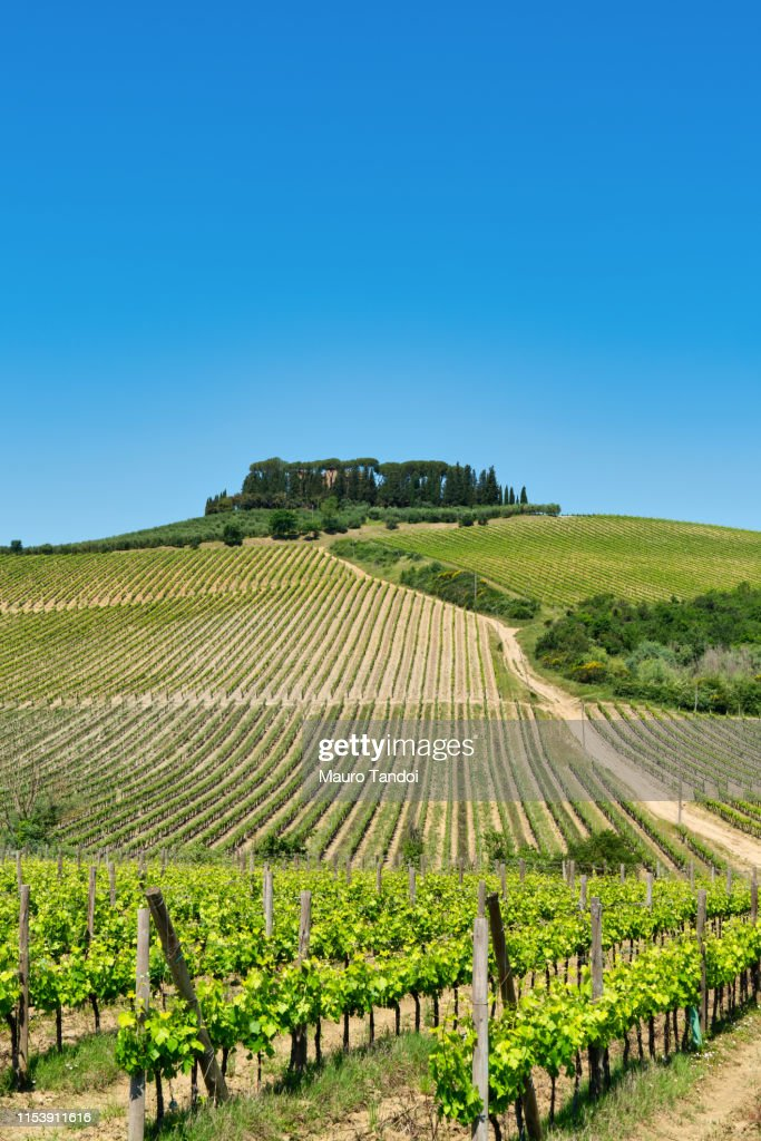 Vineyard in Siena Province, Tuscany, Italy : Foto stock