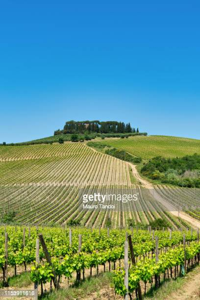 vineyard in siena province, tuscany, italy - mauro tandoi stock pictures, royalty-free photos & images