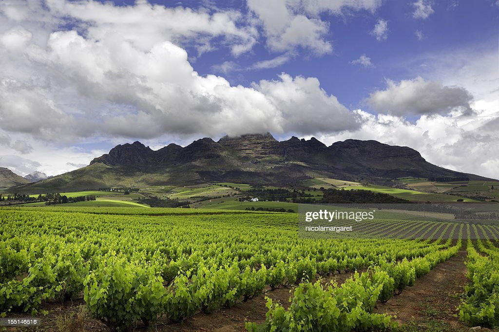 Vineyard in South Africa : Stock Photo