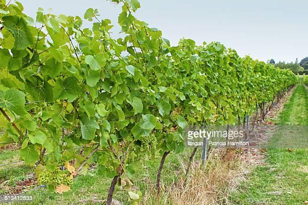 vineyard in south east england - イーストサセックス ストックフォトと画像