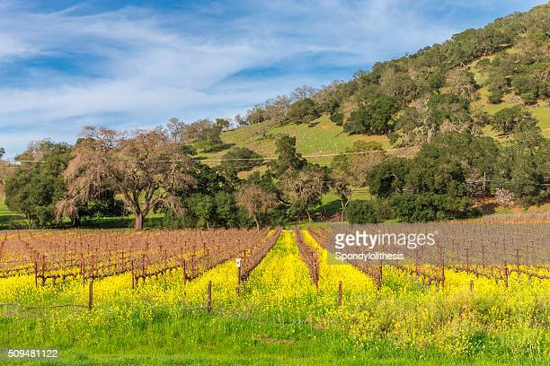 Vineyard in Spring , Napa, California