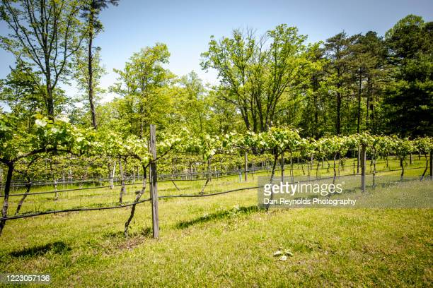 vineyard in spring - grass area stock pictures, royalty-free photos & images