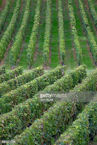 vineyard in st emlion - gironde stock pictures, royalty-free photos & images