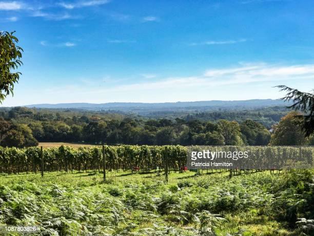 vineyard in sussex, england - イーストサセックス ストックフォトと画像