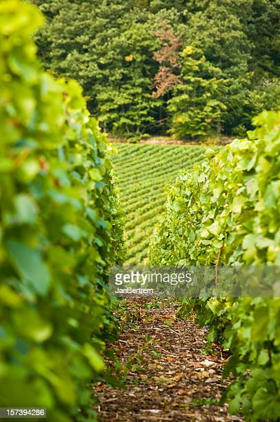 Vineyard in the Champagne region