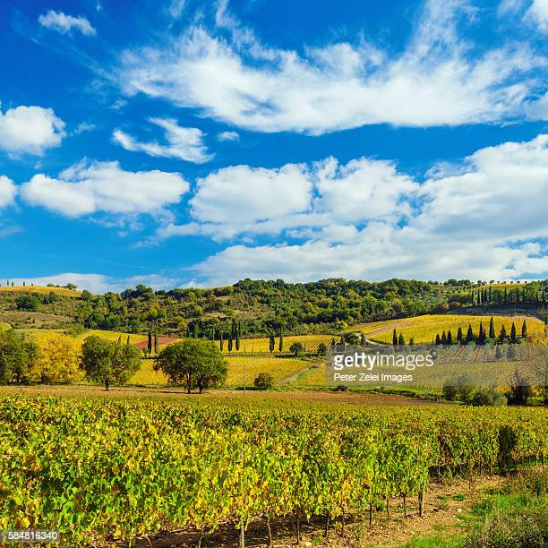 vineyard in the chianti region, tuscany, italy - chianti region stock photos and pictures