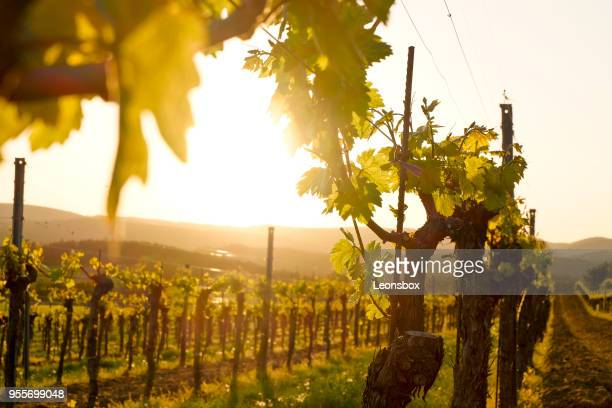 vineyard in the famous austrian winegrowing area kamptal (langenlois), lower austria - chardonnay grape stock photos and pictures