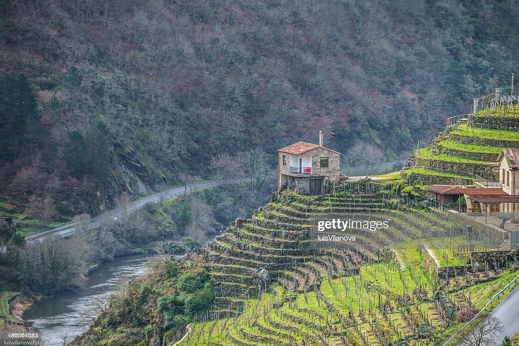 Vineyard in the Ribeira Sacra : Stock Photo