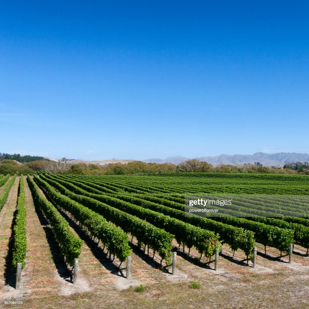 Vineyard in the Southern Alps of New Zealand : Stock Photo