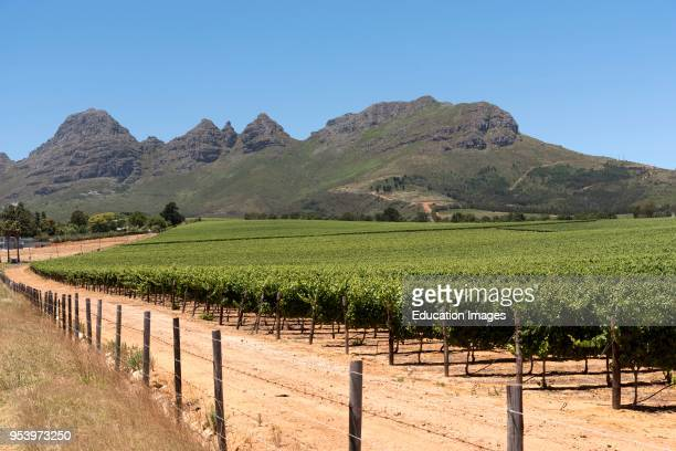 Vineyard in the Stellenbosch region of the Western Cape South Africa, Vines growing with a mountain backdrop.