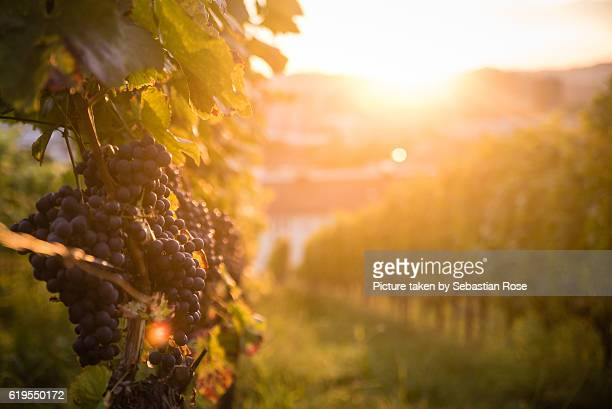 vineyard in the sun. - baden württemberg stock pictures, royalty-free photos & images