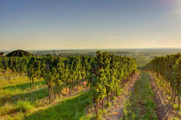 Vineyard In Very Early Morning Sun Wall Art