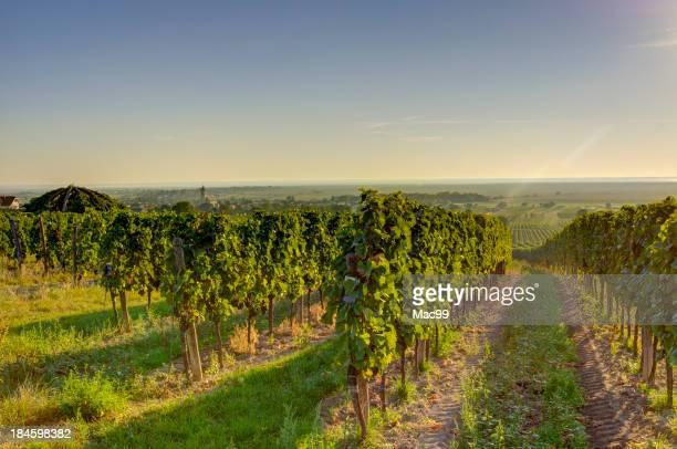 Vignoble dans le soleil du matin très tôt