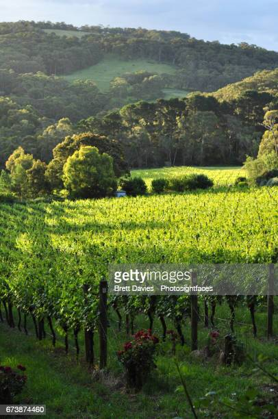 Vineyard in wine country of southern Australia