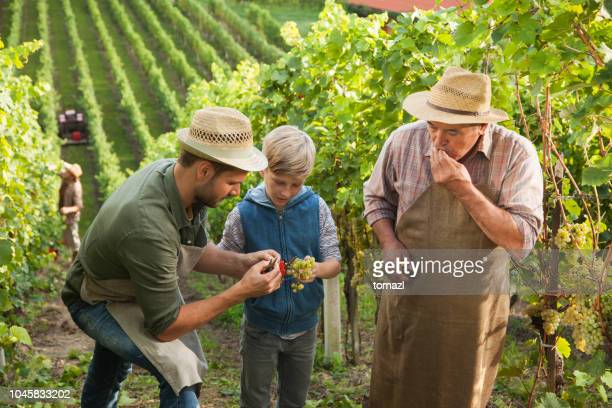 vineyard know-how from fathers to sons - slovenia stock pictures, royalty-free photos & images